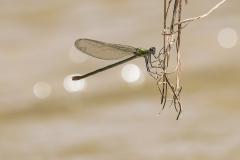 Berberbeekjuffer/Calopteryx exul/vrouw/female