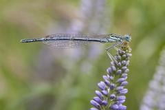 Blauwe breedscheenjuffer, Platycnemis pennipes, male