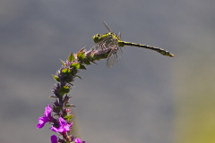 Gaffellibel, Ophiogomphus cecilia