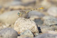 gestreepte haaklibel, Paragomphus lineatus