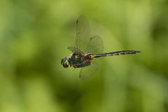 gevlekte glanslibel, Somatochlora flavomaculata2011-06-22-Oostenrijk-Walchsee-Schwemm-7783