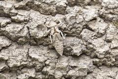 gevorkte rombout, Gomphus graslinii