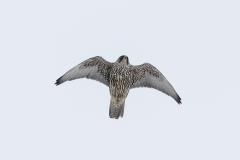 Giervalk, Falco rusticolus