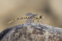 Golftanglibel/Onychogomphus flexuosus/vrouw/female