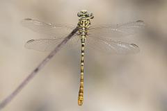 Golftanglibel/Onychogomphus flexuosus/man/male