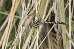 Grote tanglibel, Onychogomphus uncatus, Large pincertail, vrouw, female