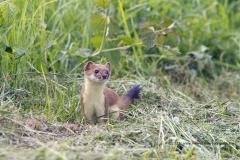 hermelijn, Mustela erminea