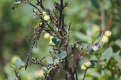 hoogveenglanslibel, Somatochlora arctica