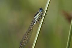 Mannetje - Iberisch lantaarntje - Ischnura graellsii