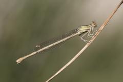 ivoren breedscheenjuffer, Platycnemis dealbata