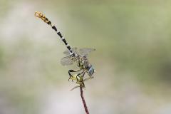 kleine tanglibel, onychogomphus forcipatus albotibialis, man, male