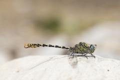 kleine tanglibel, onychogomphus forcipatus unguiculatus, man, male