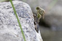 kleine tanglibel, onychogomphus forcipatus unguiculatus