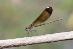 Koperen beekjuffer /Calopteryx haemorrhoidalis/vrouw/female