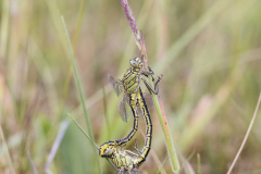 plasrombout, Gomphus pulchellus