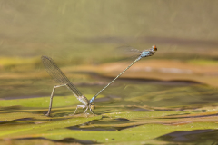 Roodsnuitjonker/Pseudagrion sublacteum/egg laying