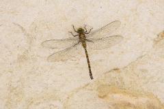 schaduwlibel, Caliaeschna microstigma