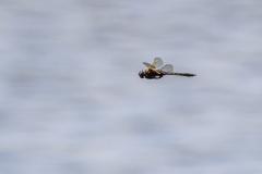 tweevlek / Epitheca bimaculata