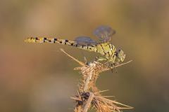 Vale tanglibel/Onychogomphus lefebvrii/vrouw/female