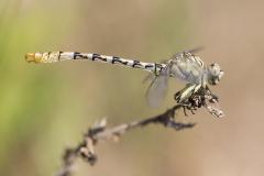 Vale tanglibel/Onychogomphus lefebvrii/man/male